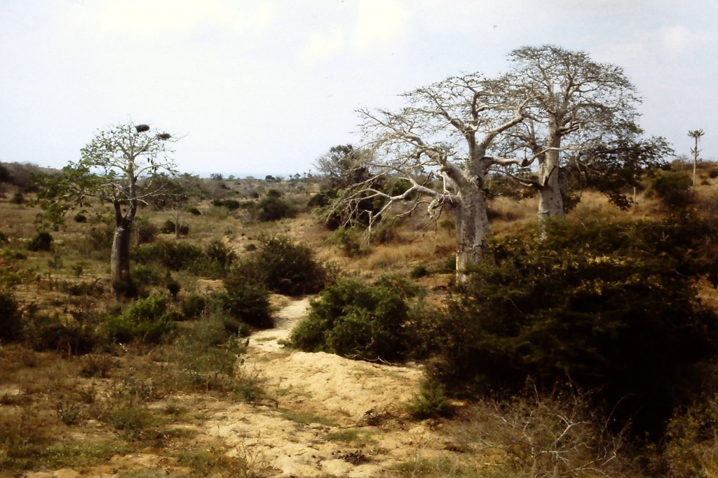 Baobabs in Angola