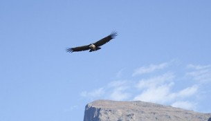 Een condor in de Colca Canyon