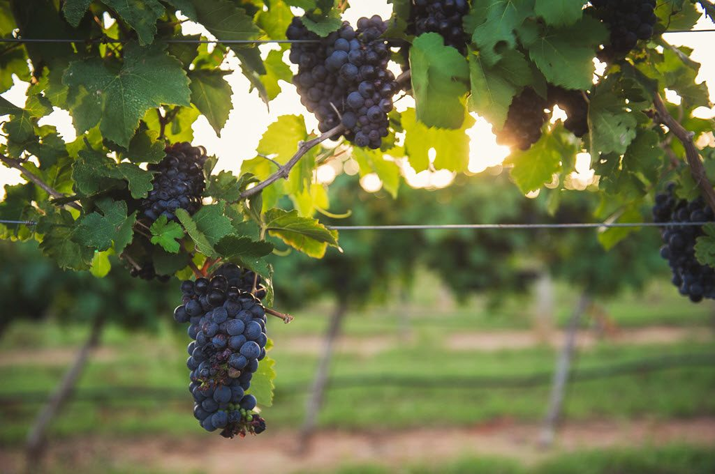 Grapes in Gillespie County © B. Mistich