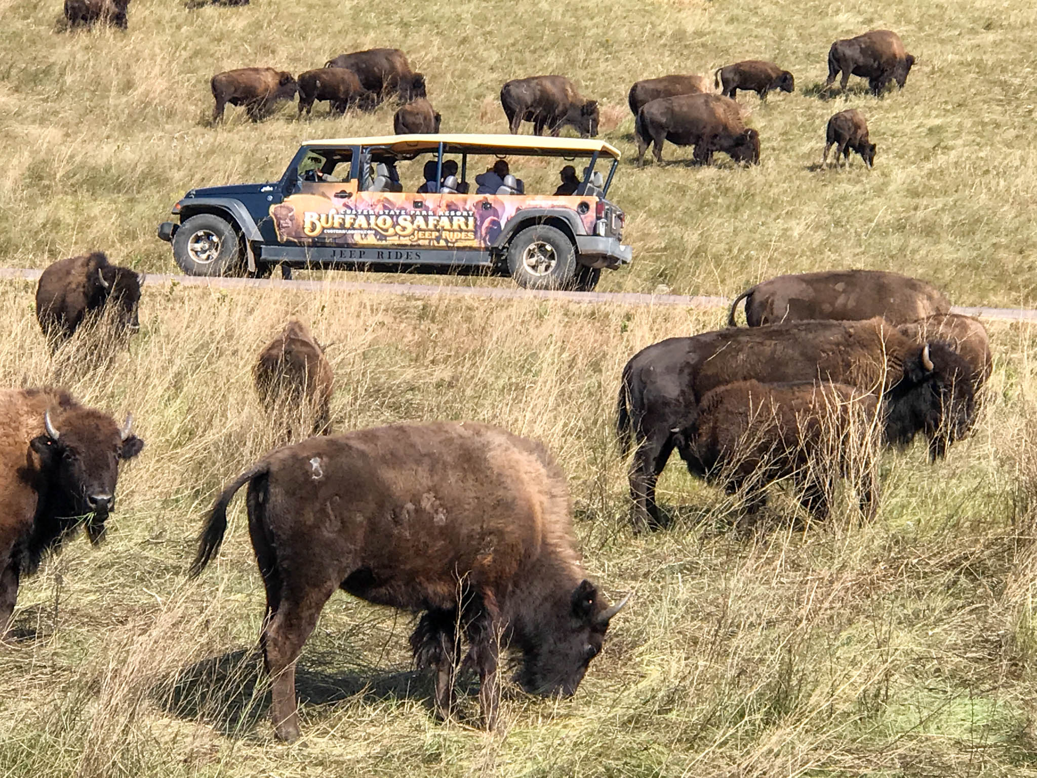 Safari in Custer State Park